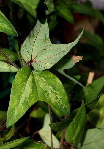 Passiflora 'Betsie Greijmans' - feuillage