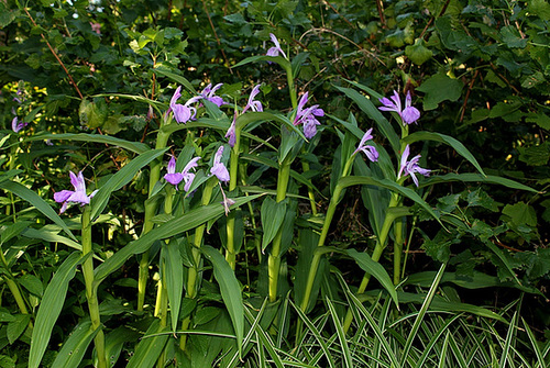 Roscoea purpurea (2)