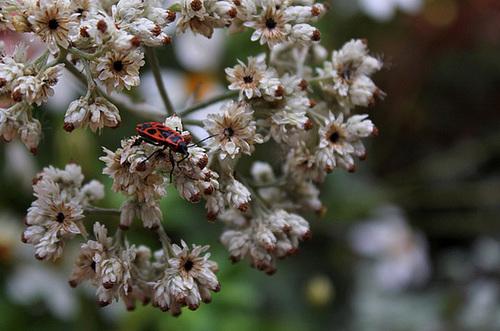 Helichrysum petiolare (6)
