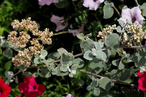 Helichrysum petiolare (10)