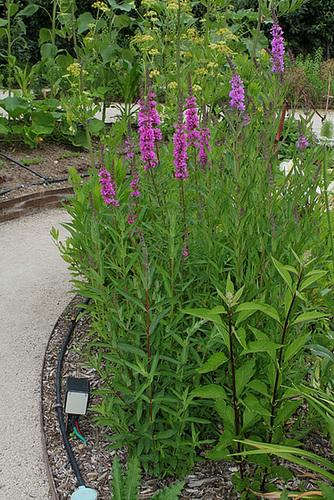 Lythrum salicaria-Salicaire