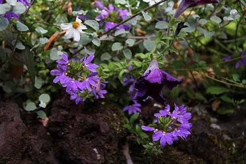 Scaevola aemula violette