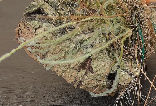 Ceratostylis rubra DSC 0103