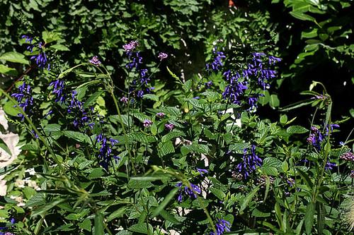 Salvia guaranitica (3)