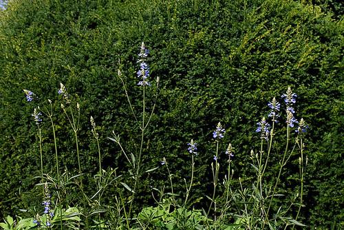 Salvia uliginosa (3)