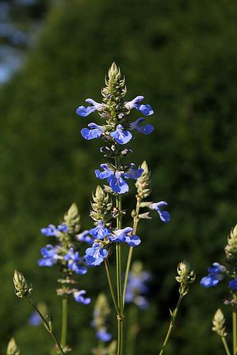 Salvia uliginosa (4)