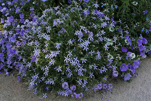Solenopsis = Isotoma= Laurentia , axillaris (2)
