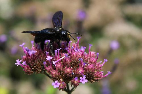 Xylocope violet -Abeille charpentière (6)