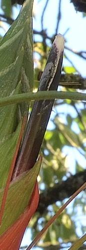 Tillandsia punctulata DSC 0256-2