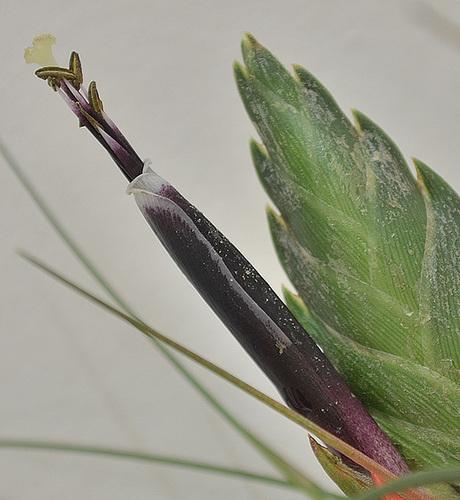 Tillandsia punctulata DSC 0263