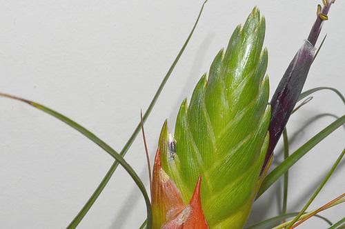 Tillandsia punctulata DSC 0269