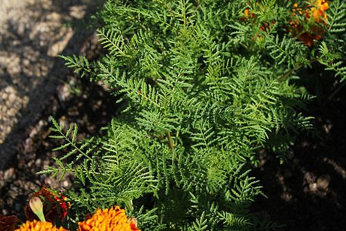 Tagetes tenuifolia pumila