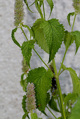 Agastache urticifolia (3)