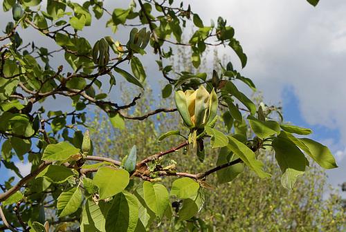 Magnolia acuminata (4)