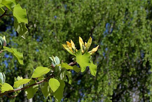 Magnolia acuminata (7)
