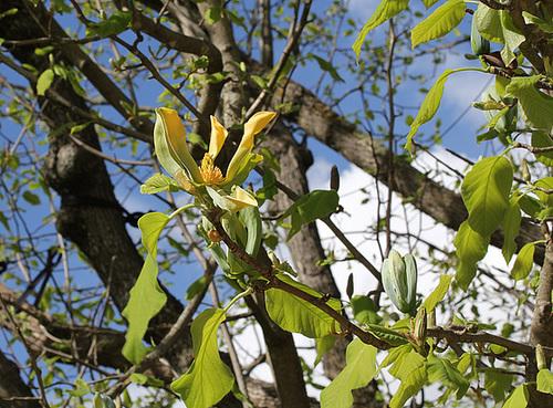 Magnolia acuminata (9)