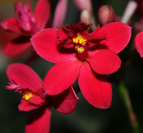 Epidendrum hybride ( X ibaguense )
