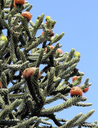 Araucaria araucana  (3)