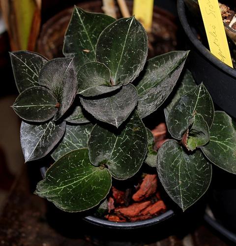 Anoectochilus roxburgii (2)
