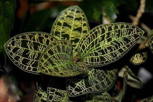 Macodes petola (4)