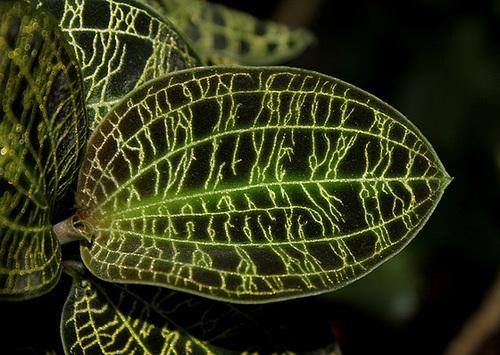 Macodes petola (6)