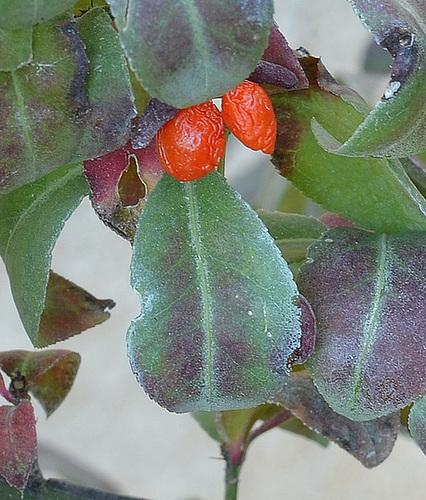 Euonymus alatus 'Compactus' DSC 0081