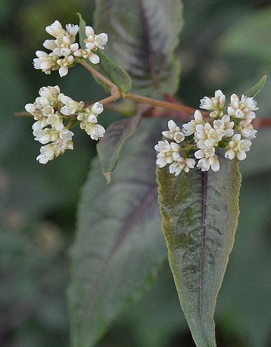 Eupatorium rugosum chocolate DSC 0015