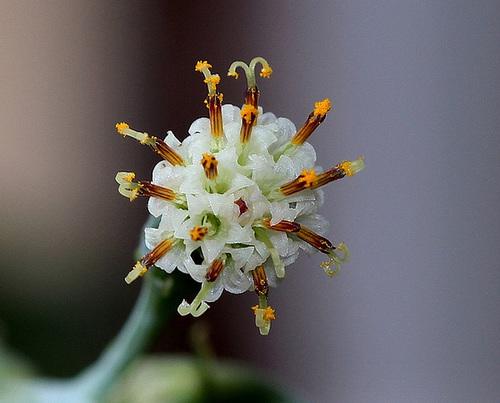 Senecio repens - capitule de fleurs-Stigmates (2)