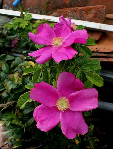 Rosa rugosa - La vie  malgré tout