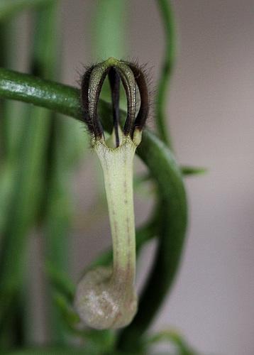 Ceropegia linearis ssp linearis  (2)