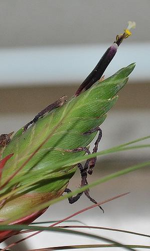 Tillandsia punctulata DSC 0043