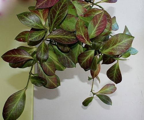 Hoya obscura (2)