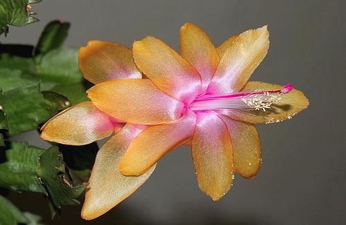Schlumbergera hybride orange