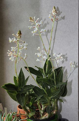 Ludisia en fleurs