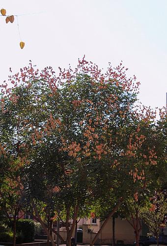 *koelreu* - Koelreuteria paniculata - savonnier 13418601.75890f89.500
