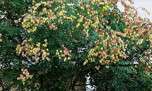 *koelreu* - Koelreuteria paniculata - savonnier 13418607.baccea94.500