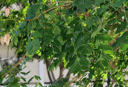 *koelreu* - Koelreuteria paniculata - savonnier 13418610.28ece304.500