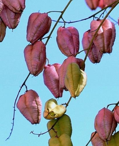 *koelreu* - Koelreuteria paniculata - savonnier 13418611.fe4d8bd7.500