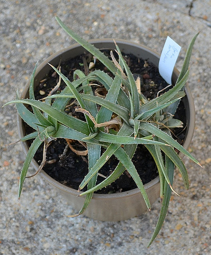 Dyckia remotiflora DSC 0024