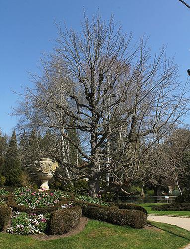 Magnolia acuminata Acci- avril 2013