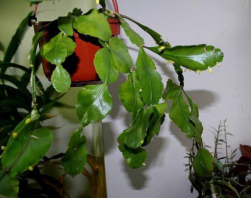Rhipsalis pachyptera début floraison