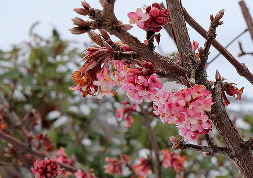 IMG 7983- Viburnum bodnantense .. floraison un peu grillée
