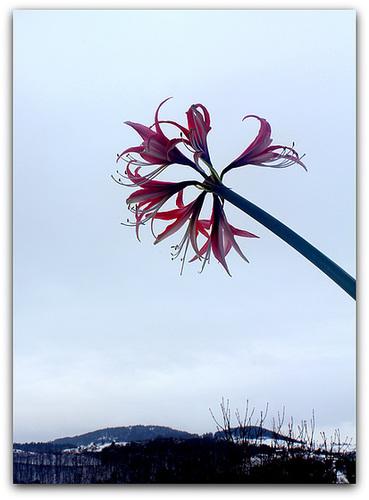 IMG 8361- Une fleur à sa fenêtre