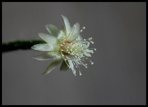 Rhipsalis pilocarpa -début de floraison