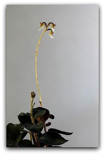 IMG 8752- Anoectochilus  setaceus fleuri