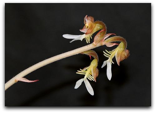 IMG 8699- Anoectochilus setaceus