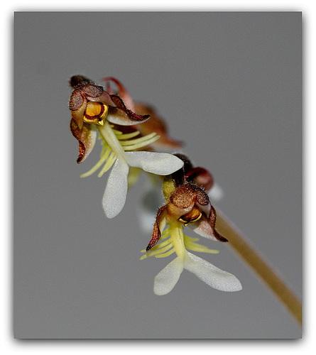 IMG 8780- Anoectochilus setaceus