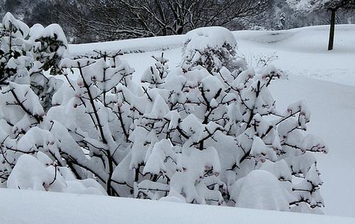 Viburnum sous la neige (2)