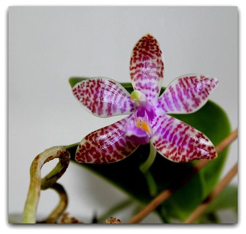 Phalaenopsis lueddemaniana