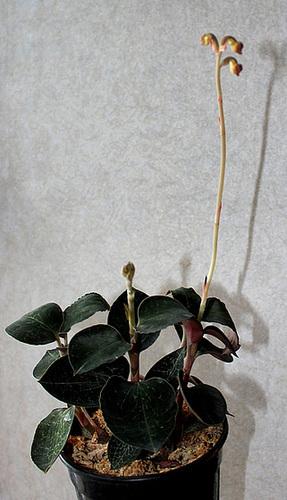 IMG 7646-Anoectochilus roxburghii = setaceus
